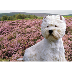 Westie in Heather Placemat