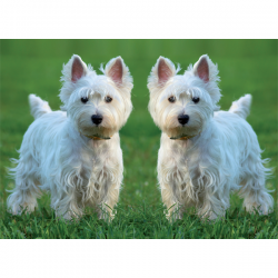 West Highland White Terriers Greetings Card