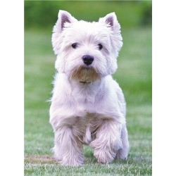 Solo Westie Greetings Card - West Highland White Terrier