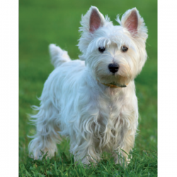 Westie in the Meadow Fridge Magnet