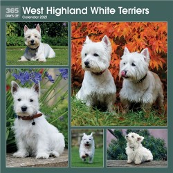 365 Days Of West Highland White Terrier 2021 Wall Calendar
